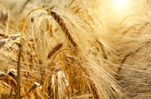 "Quelle: Fotolia, Grecaud Paul, ""Golden sunset over wheat field"", 34854918"
